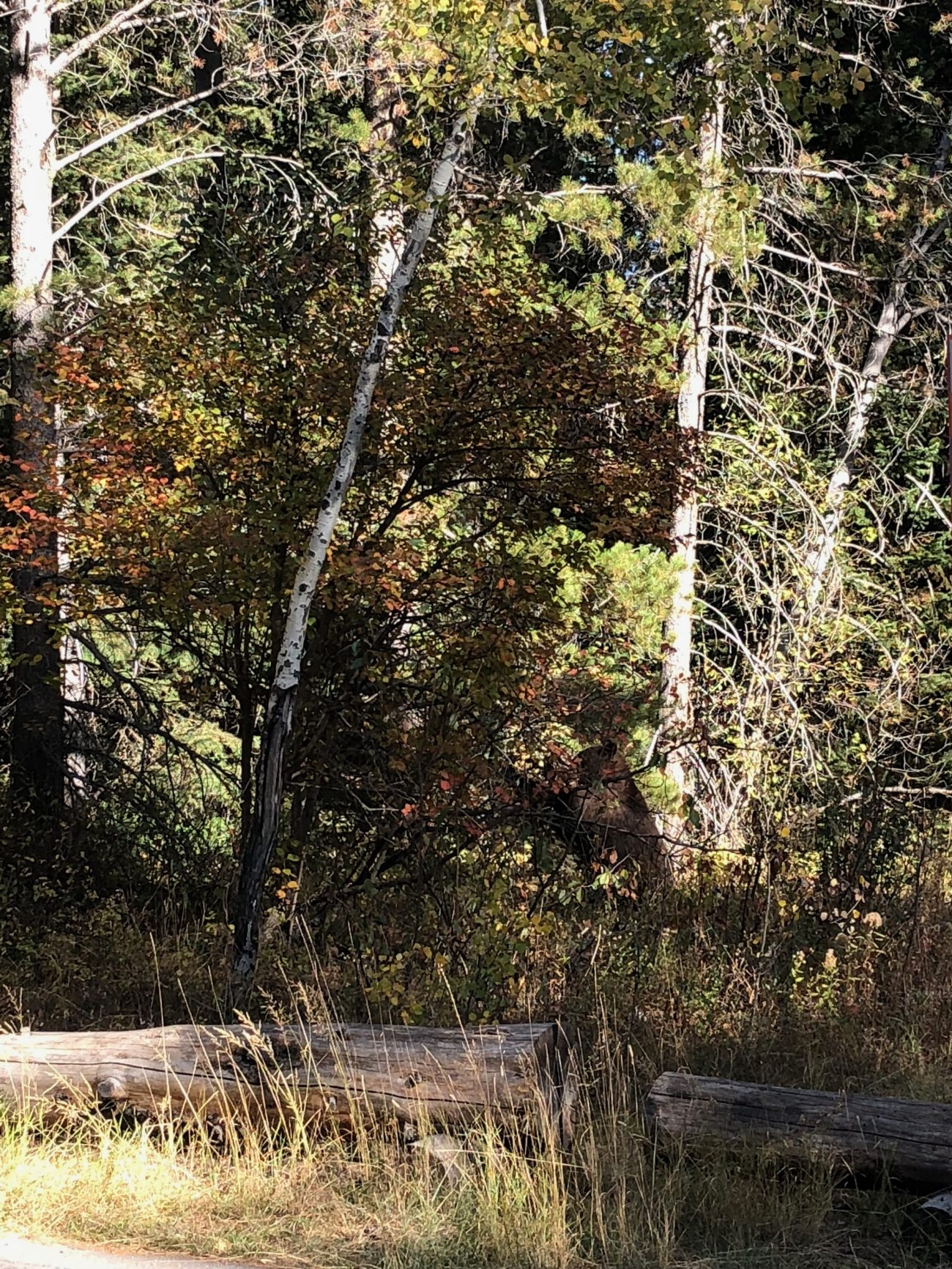 Black Bear in Grand Teton