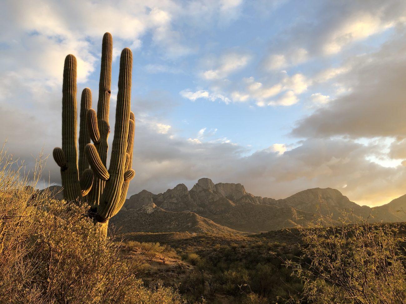 Saguaro Cactus at Catalina State Park