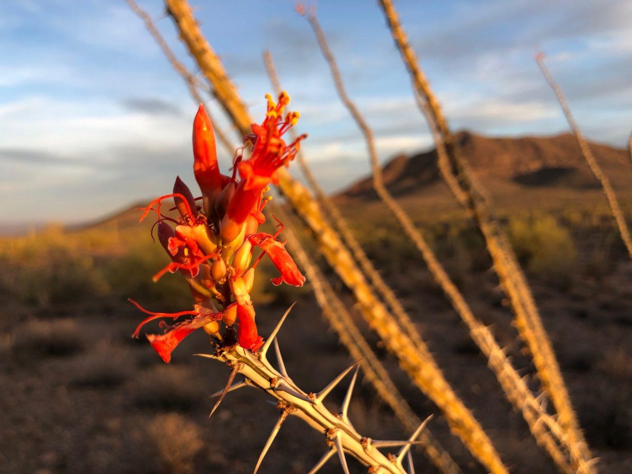 Flower in desert near Ajo, AZ