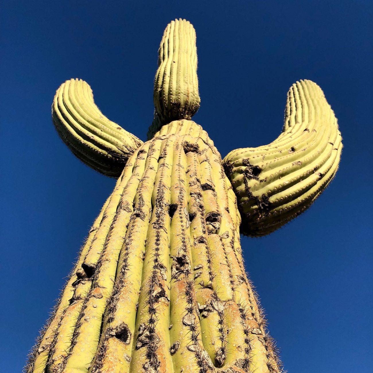 Giant Saguaro at Catalina State Park