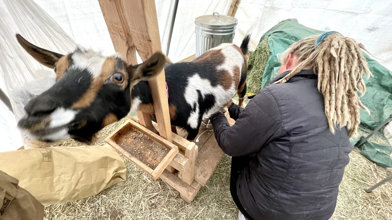 Adali milking our first mama goat Fay
