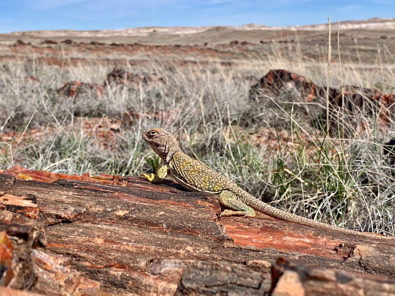 Petrified Forest Lizard